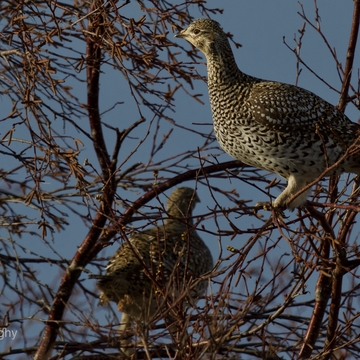 Sharp-tailed grouse and Willow grouse eating buds.