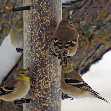 ~ winter finch colours ~