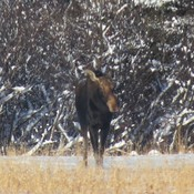 Young Moose looking for food