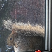 Chubby Squirrel ..