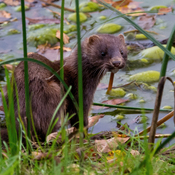 Mink at the pond for a morning drink