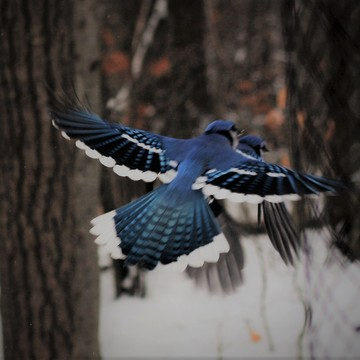 BlueJays in Flight