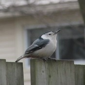 Awesome White Breasted Nuthatch