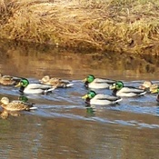 Mallards heading downstream