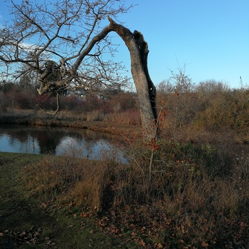 Broken Garry Oak