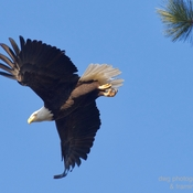 Bald eagle and Red-tailed hawk