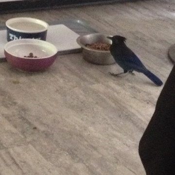 This is Grandpa Steve Steller Jay