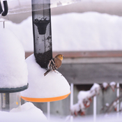 Golden finch finds his way to breakfast through the snow this morning