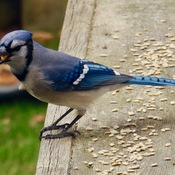 Bluejay enjoying some treats!