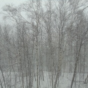 WHITE OUT AND BIRCH YEA IT IS WINTER