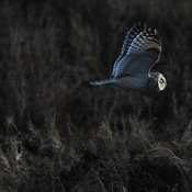 Owl in Boundary Bay