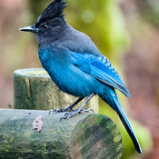 Steller's Jay Came Out to Play.
