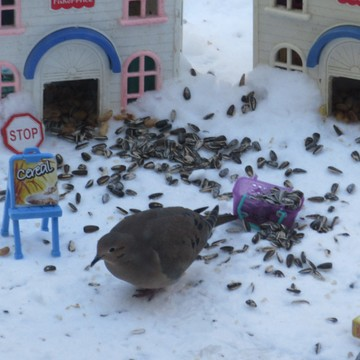 Mourning Dove at the Cereal House