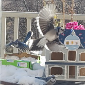 winter blue jays in my yard.
