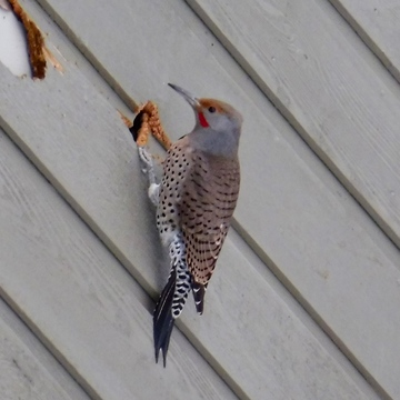 A FLICKER WITH AN APPETITE?