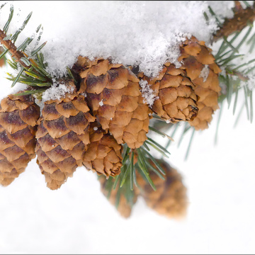 Small pine cones, Elliot lake.