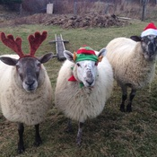 A woolly Christmas.