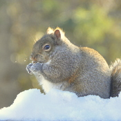 Grey squirrel enjoying the snow!