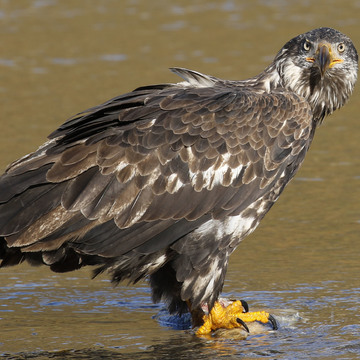 Juvenile Bald Eagle