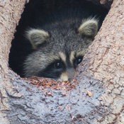 Raccoon in the woods