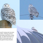 A 3 snowy owl day in Ottawa