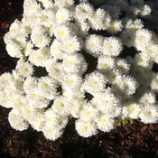 Mums bloomed into Dec