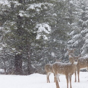 Deer in our latest snow storm