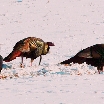 Colorful Wild Turkeys