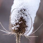 The Snowy Thistle