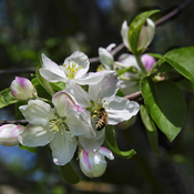 Apple Blossoms..Spring is just around the corner