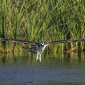 Osprey Taking Flight