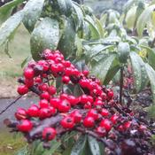 Berries in the rain