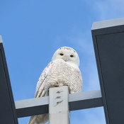Snowy Owl Shots at Great Canadian Super Store Grimsby!