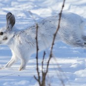 Snowshoe Hare on the run