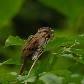 Song Sparrow hiding in the leaves