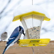 Jay at the feeder