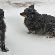 My dogs out in the snow