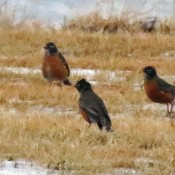 Robins looking for food