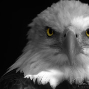 Bald Eagle Black and White Color Splash