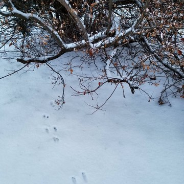 Rabbit tracks on a snowy morning
