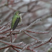 Female Anna's Hummingbird the day after our freezing rain.