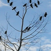 The ole crow tree.
