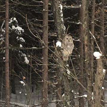 A owl on a snowy day
