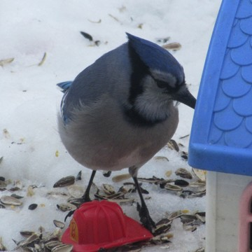 Blue Jay in the backyard.