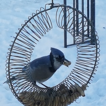 bluejay came back