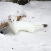 Weasel out and about!