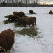 Highland Cattle Feeding at Mac Ranch