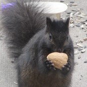 Squirrel with a walnut