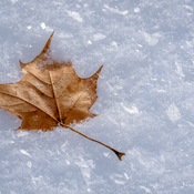 Leaf in sparkling snow