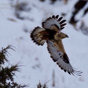Rough-legged hawk, and Bald eagle